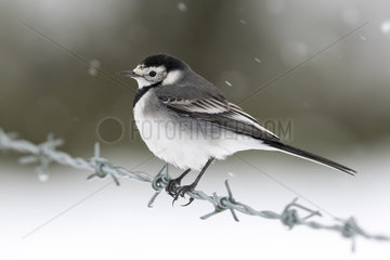 Pied wagtail (Motacilla alba) perched on a barbed wire while snow falling  England