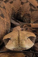 Rhinoceros Viper (Bitis rhinoceros)