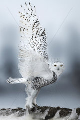 Canadian snowy owl (Bubo scandiacus) taking off  Quebec  Canada