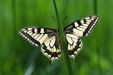 Old World swallowtail (Papilio machaon) on a leaf  Lorraine  France