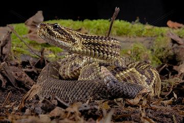 Cascabel Rattlesnake (Crotalus durissus terrificus)