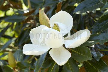 southern magnolia (Magnolia grandiflora 'Little Gem')
