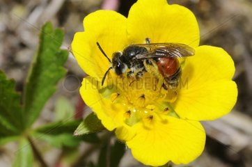 Solitary bee on Creeping cinquefoil - Northern Vosges