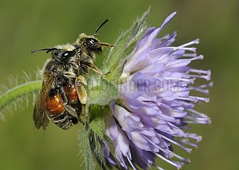 Solitary bee mating on Field Scabiosa - Northern Vosges