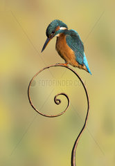 Kingfisher (Alcedo atthis) Female kingfisher perched on a question mark made of steel  England  Autumn