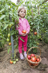 Little girl harvesting Tomatoes 'Coeur de Boeuf' in a kitchen garden