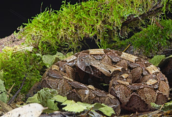 Young Gaboon viper (Bitis gabonica gabonica) from Cameroon