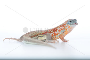 Peters' keeled cordylid (Tracheloptychus petersi) on white background