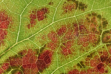 Japanese Ivy or Boston Ivy (Parthenocissus tricuspidata) graphic detail of leaf limb in autumnal period  Ile-de-France  France