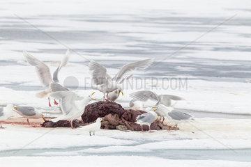 Glaucus gulls (Larus hyperboreus) eating the remain of a walrus (Odobenus rosmarus)  on the ice  when polar bear (Ursus maritimus) has finish to eat. Spitsbergen  Svalbard  Norwegian archipelago  Norway  Arctic Ocean