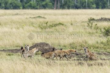 Spotted hyena (Crocuta crocuta)  group conflict with an individual  Masai-Mara National Reserve  Kenya