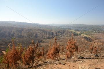 Burning pine and eucalyptus forest  Chile  near Vichuquen  VII Region del Maule  Chile