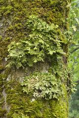 Tree lungwort (Lobaria pulmonaria)