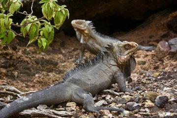 Lesser Antillean Iguana (Iguana delicatissima)  La Desirade Nature Reserve  Guadeloupe