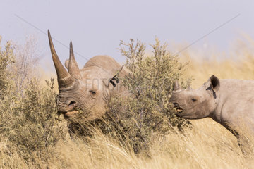 Black rhinoceros or hook-lipped rhinoceros (Diceros bicornis)  mother and young  3O years and 14 months old  Kalahari Desert  South African Republic