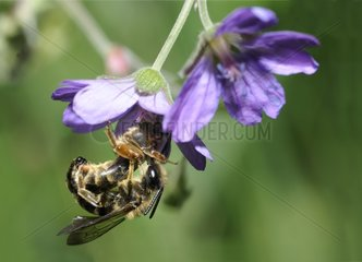 Solitary bee mating on Hedgerow Geranium - Northern Vosges