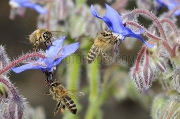 Honeybees on flowers Borage - Northern Vosges France