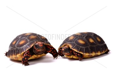 Young Red-footed Tortoises on white background