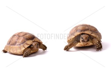 Young Asia Minor spur-thighed tortoises on white background