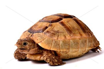 Young Asia Minor spur-thighed tortoise on white background