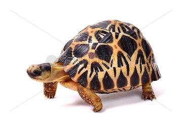 Young Radiated tortoise on white background