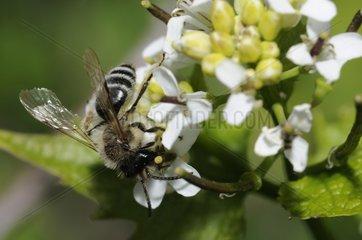 Yellow-legged Mining-bee on Garlic Mustard - Northern Vosges