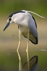 Night heron on the lookout at the edge of a pond - Hungary