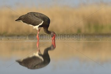 Black Stork fishing in a pond - Hungary