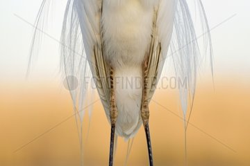 Great Egret plumage - Hungary