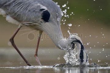 Grey Heron fishing head in water - Hungary