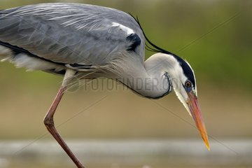Grey Heron on the lookout in a pond - Hungary