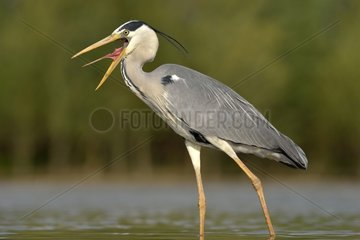 Grey Heron with open beak in a pond - Hungary