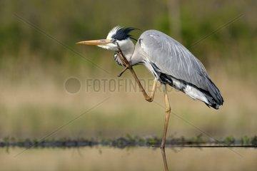 Grey Heron grooming in a pond - Hungary
