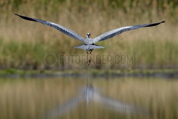 Grey Heron in flight over a pond - Hungary