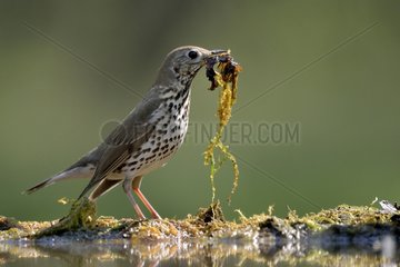 Song Thrush with nest material - Hungary