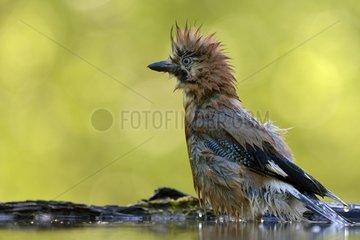Eurasian Jay wet after bathing - Hungary