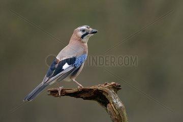 Eurasian Jay on a branch - Lorraine France