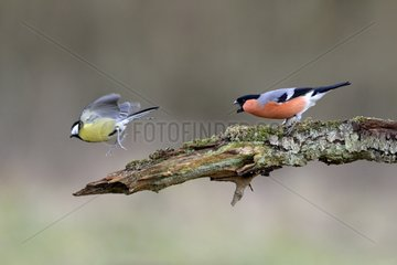 Bullfinch chasing a Great tit of a branch - France
