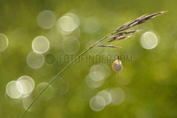 Snail clinging to a grass stem - Lorraine France