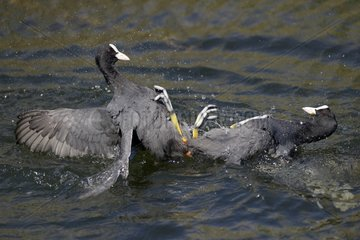 Coots territorial fight on water - Luxembourg