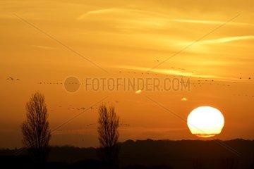 Common Cranes migratory flight at dawn - Der Lake France