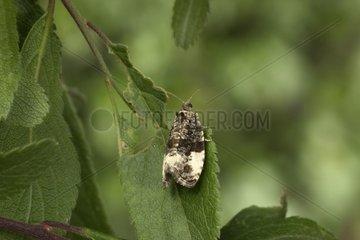 Green budworm moth Bourgogne France