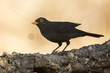 Black bird (Turdus merula) male  Cordoba  Andalucia  Spain