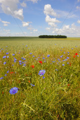 Garden cornflower (Centaurea cyanus) at the edge of a wheat field in spring  May  Picardy - France.