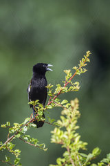 White winged Widowbird (Euplectes albonotatus) on a branch  Kruger National park  South Africa