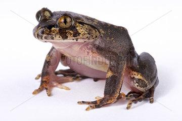 Hairy frog (Trichobatrachus robustus) on white background