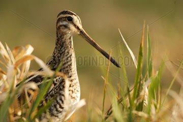 Common Snipe seeking its food Gran_Lieu lake reserve France