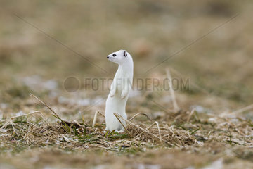 Ermine (mustela erminea ) in winter coats hunting in the grass  France