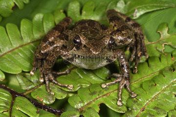 Fort Madagascar Frog (Mantidactylus femoralis)  Andasibe  Perinet  Alaotra-Mangoro Region  Madagascar