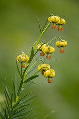 Straw-coloured turk's cap (Lilium pyrenaicum)  Pyrenees  Spain